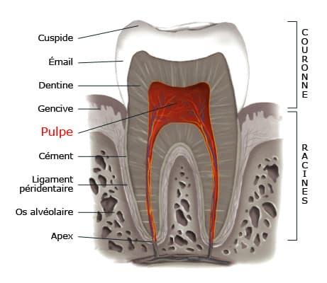 pulpe de la dent